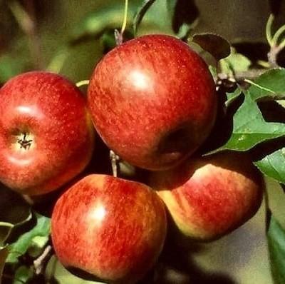 Pommier Reine des Reinettes - pommier, arbres-fruitiers