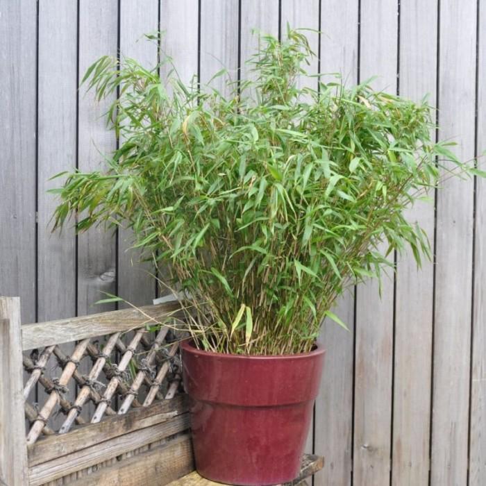 Bambou Fargesia Rufa en pot