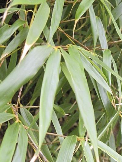 Bambou Fargesia Rufa feuillage