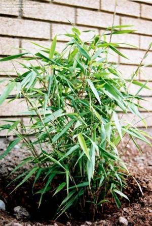 Bambou Fargesia Rufa plantation