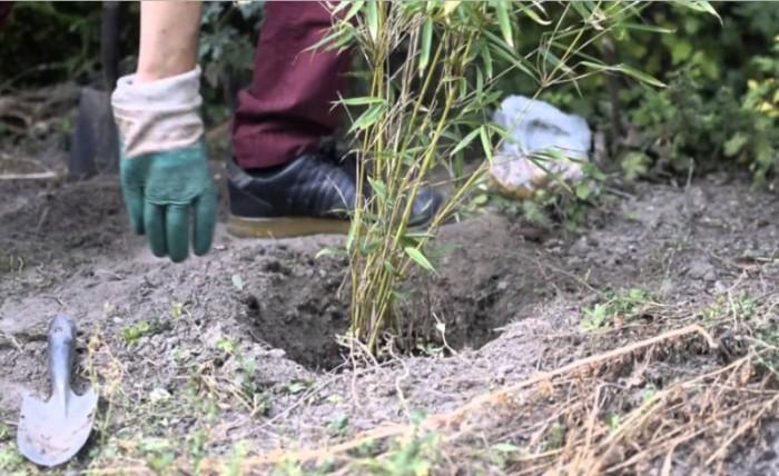 Bambou Fargesia Rufa trou de plantation