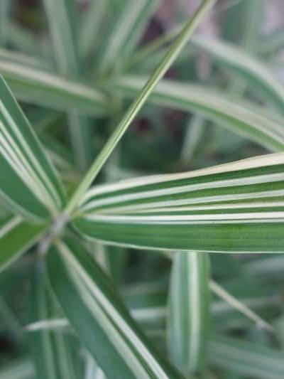 Bambou Pleioblastus fortunei variegata - bambou