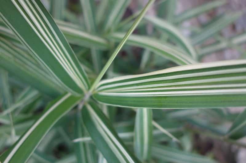 Bambou Pleioblastus fortunei variegata