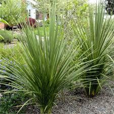 Cordyline Australis - plantes-mediterranneennes