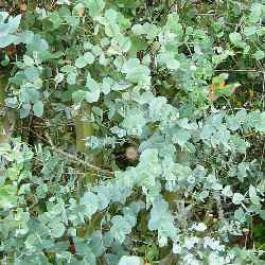 Eucalyptus gunni - arbres-ornement