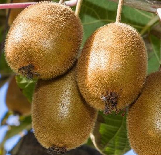 Kiwi mâle ( actinidia deliciosa tomuri) - petits-fruitiers