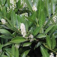 Laurier Palme du Caucase en lot de 10 plants
