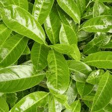Laurier Palme du Caucase en lot de 10 plants - arbuste-haie-persistants