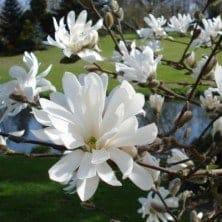 Magnolia stelatta - plantes-de-terre-de-bruyere
