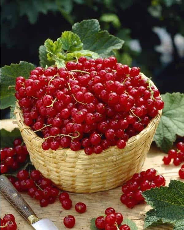 Groseillier grappes rouge Junifer - petits-fruitiers
