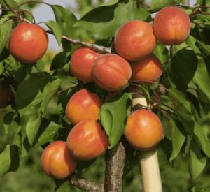 Abricotier Précoce de Saumur - arbres-fruitiers, les-abricotiers