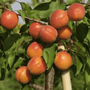 Abricotier Précoce de Saumur