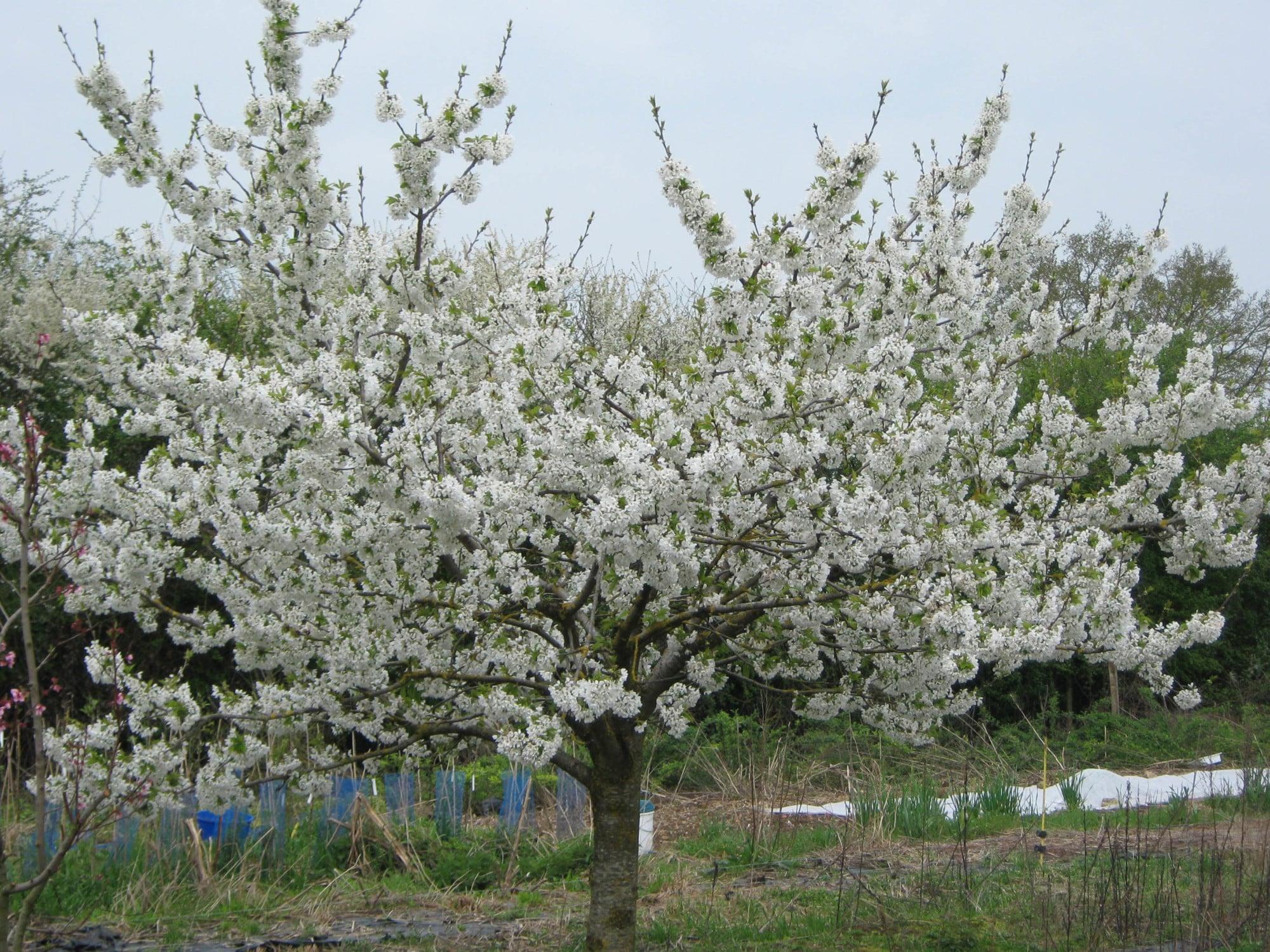 Abricotier Précoce de Saumur en floraison