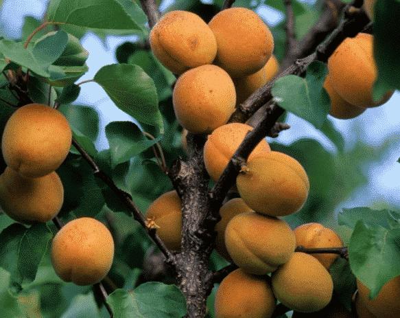 Abricotier Précoce de Saumur en scion