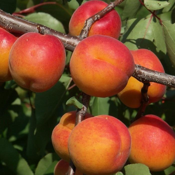 Abricotier Rouge de Roussillon - arbres-fruitiers, les-abricotiers