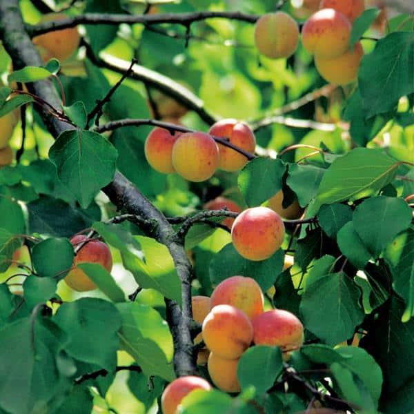 Abricotier Rouge de Roussillon branche