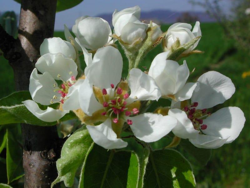 Fleur du Poirier Beurré Hardy