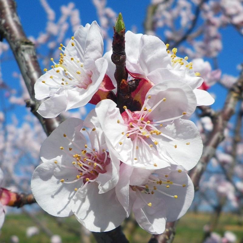 Floraison Abricotier Rouge de Roussillon