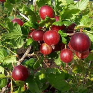Groseillier à Maquereau Captivator - petits-fruitiers
