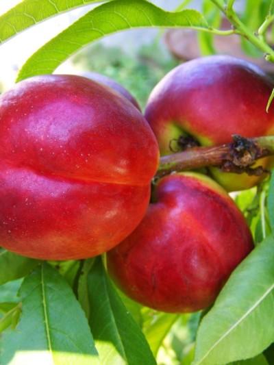 Nectarinier Nectared - les-pechers-et-brugnons, arbres-fruitiers