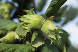 Noisetier Fertile de Coutard - les-noisetiers, arbres-fruitiers