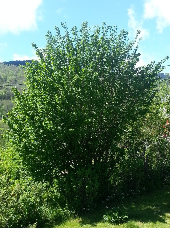 Noisetier Longue d'Espagne - les-noisetiers, arbres-fruitiers