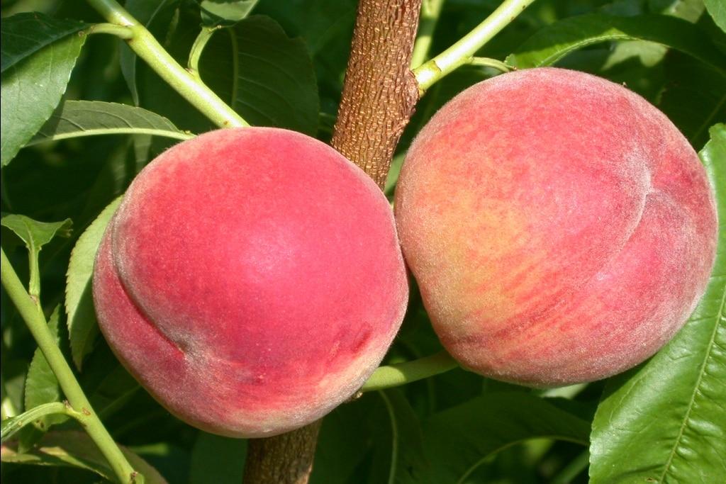 Pêcher Amsden Prunus persica Amsden