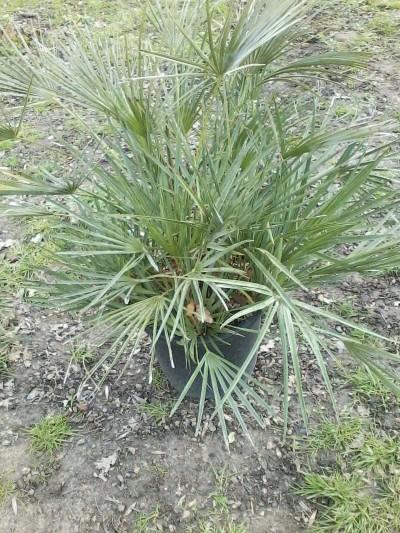 Palmier Chamaerops Humilis - plantes-mediterranneennes