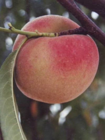 Nectarinier Nectarose - les-pechers-et-brugnons, arbres-fruitiers