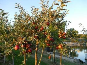 Pommier Rouget de Dol - pommier, arbres-fruitiers