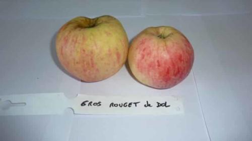 Pommier Rouget de Dol - Grosses pommes