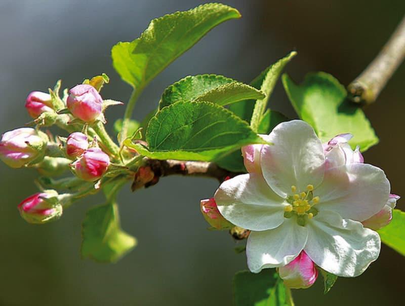 Pommier Rouget de Dol en floraison