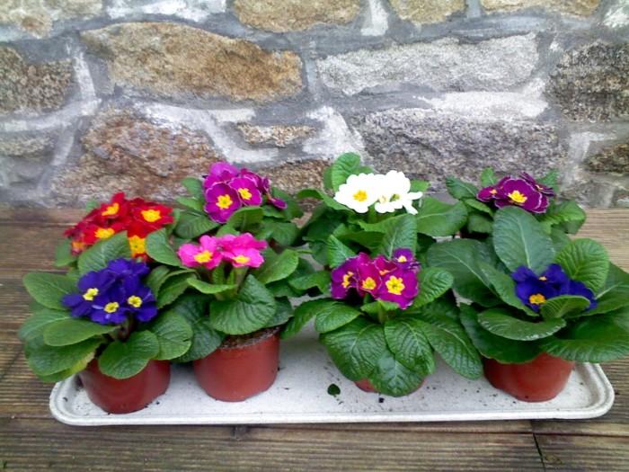 Primevère - plantes-vivaces-printemps