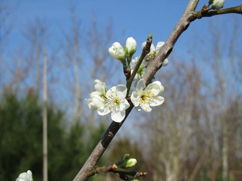 Prunier Reine Claude d'Oullins en fleur