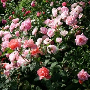 Rosier Hybride Larissa®  Rekord® - rosiers-couvre-sols-paysager