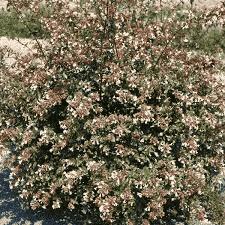 Abélia grandiflora - arbustes-a-fleurs-dete