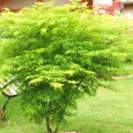 palmatum