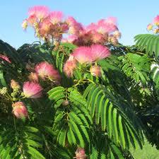 Albizia julibrissin - arbres-ornement