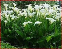 Arum d'Ethiopie - plantes-vivaces-printemps