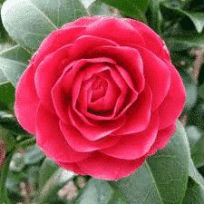 Camélia Japonica Paolina Guichardini - plantes-de-terre-de-bruyere