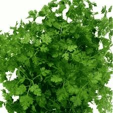 Cerfeuil - plantes-aromatiques-jardin