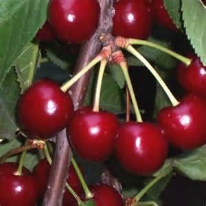 Cerisier Reverchon - les-cerisiers
