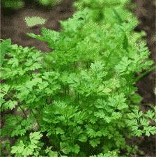 Coriandre - plantes-aromatiques-jardin