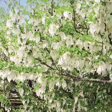 Davidia Involucrata - arbres-ornement