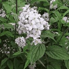 Deutzia Perle Rose - arbustes-a-fleurs-de-printemps