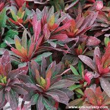 Euphorbia Amygdaloides Ruby Glow® - plantes-vivaces