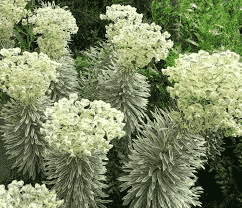 Euphorbia Characias Tasmanian Tiger® - plantes-vivaces