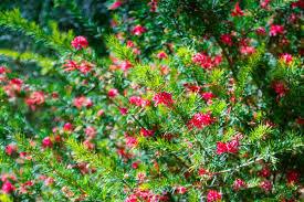 Grévilléa juniperina Canberra gem - plantes-mediterranneennes