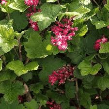groseiller fleur