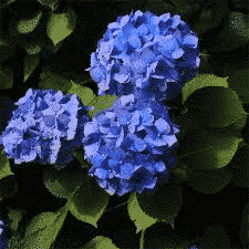 hortensia adria